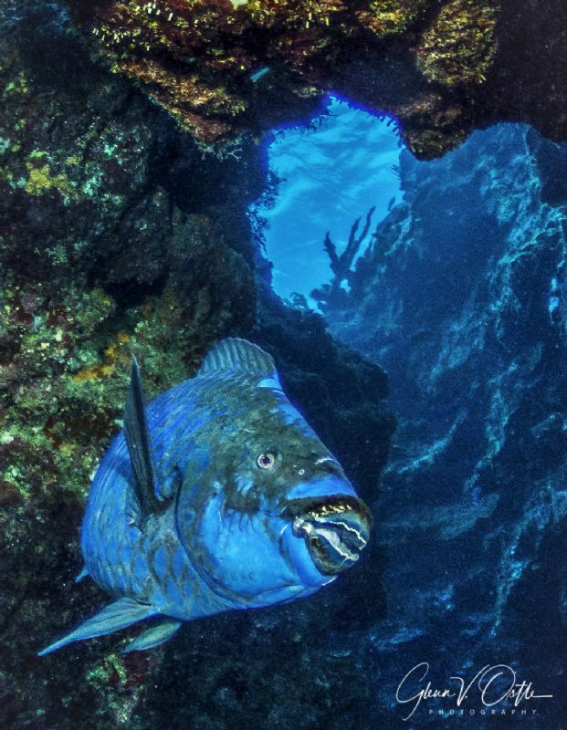 Midnight Parrotfish in the caverns of Snapper Hole in Gra... by Glenn Ostle