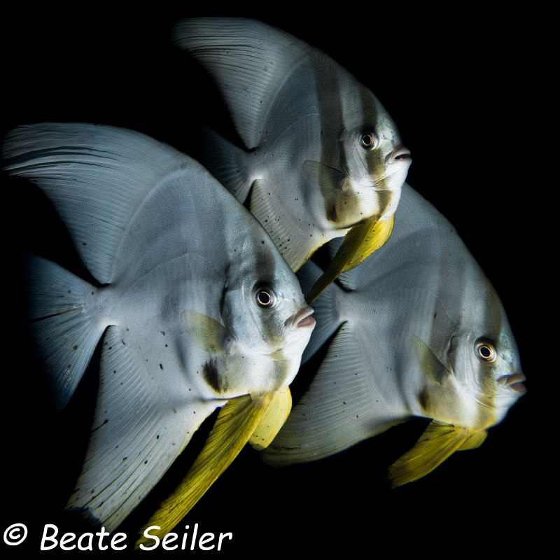 Batfish Parade at Pintuyan housereef by Beate Seiler