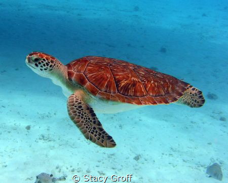 Turtle swimming off of Klein Curacao.  No lights used. by Stacy Groff