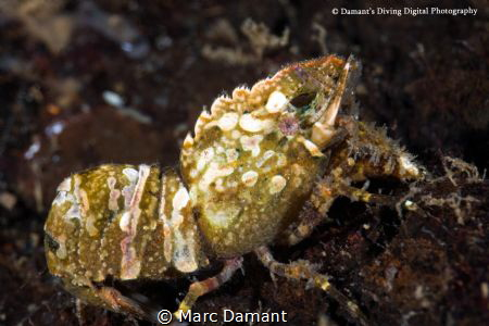 Usually a camoflauged shrimp the Blade Shrimp was crossin... by Marc Damant