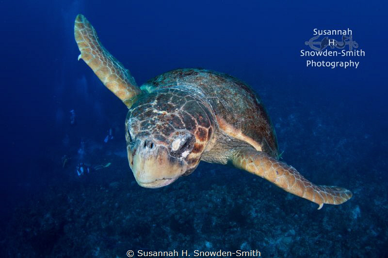 """Buzzing The Tower"" - A giant loggerhead in flight.  I sw... by Susannah H. Snowden-Smith"