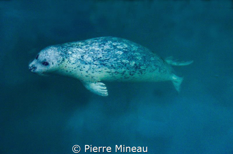 Harbour seal coming up from the depths. by Pierre Mineau