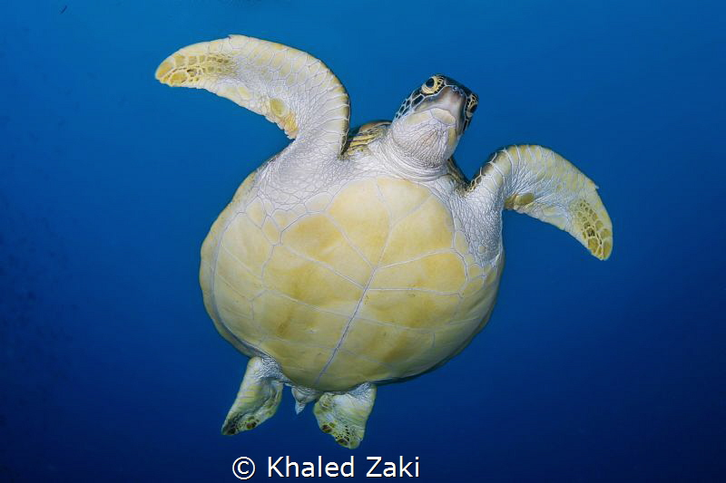 Green Turtle 1 Nuvilu Diving by Khaled Zaki