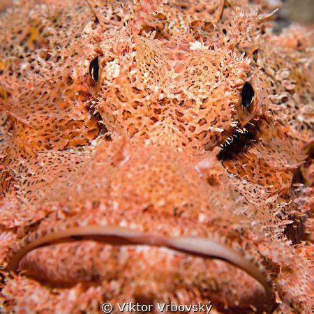 Scorpionfish by Viktor Vrbovský