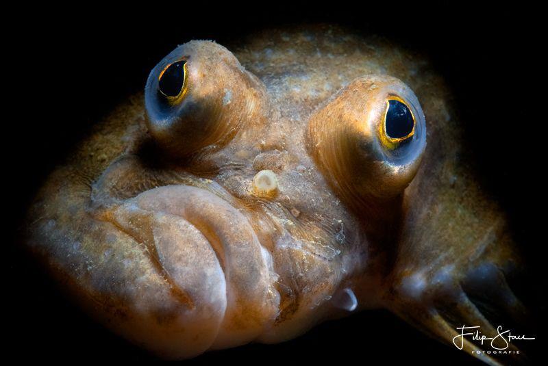 Platichthys flesus, Zeeland, The Netherlands by Filip Staes