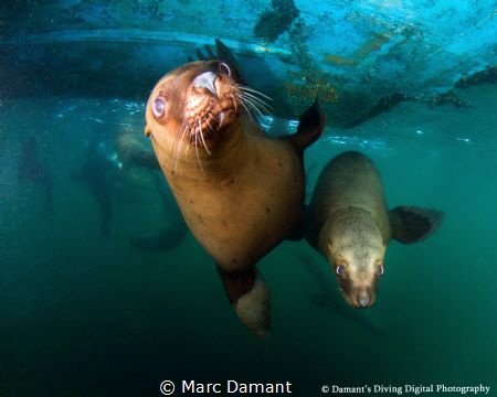 Hanging out under the boat with some frisky Sea Lions! by Marc Damant