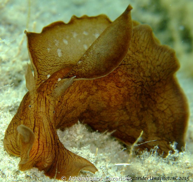 Aplysia fasciata by Athanassios Lazarides