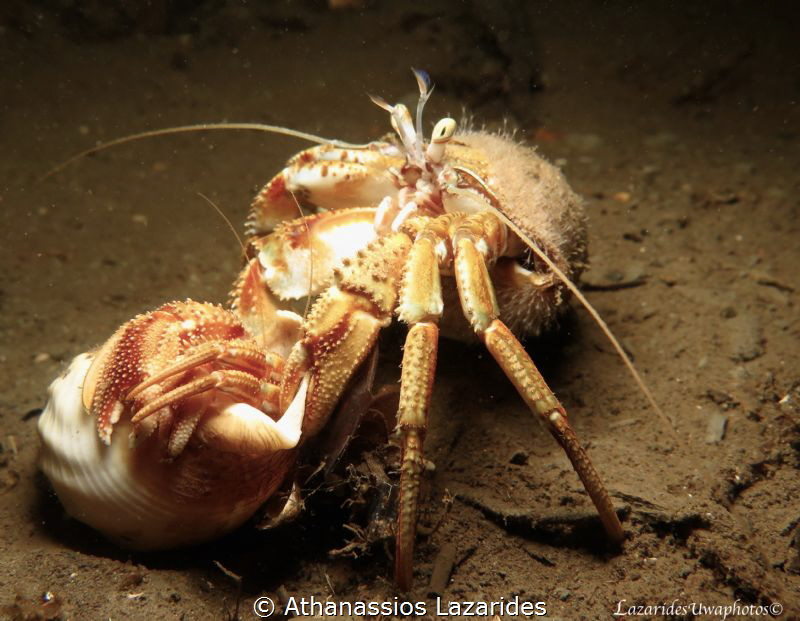 Crab Love - Cancer pagurus (male) with the female in an e... by Athanassios Lazarides
