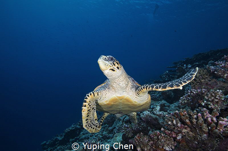 Turtle/Maldives/Canon 5Dmark4, 16-35mm Lens, S&S housing,... by Yuping Chen