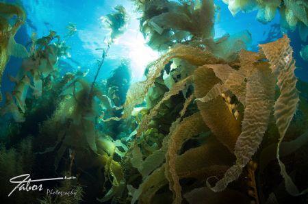 Kelp at Avalon Dive Park, Catalina Island, California by Michael Fabos