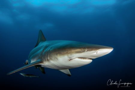 black tip shark , South Africa Umkomaas by Claude Lespagne