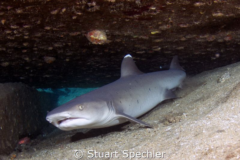 Get out!  Reclusive white tip reef shark, less than thril... by Stuart Spechler