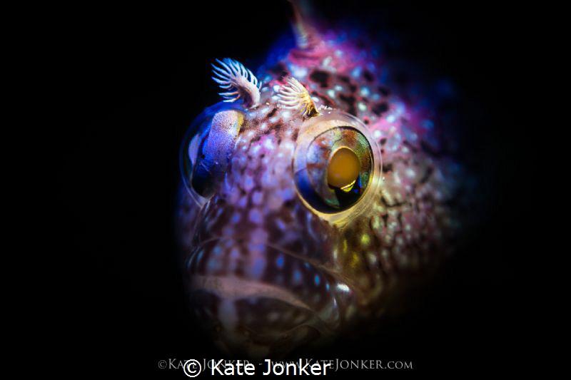 Spectre Snooted super klipfish in False Bay by Kate Jonker