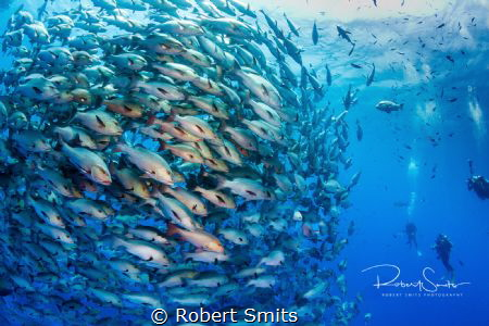 A school of Bohar snappers gather one week per year in Ra... by Robert Smits