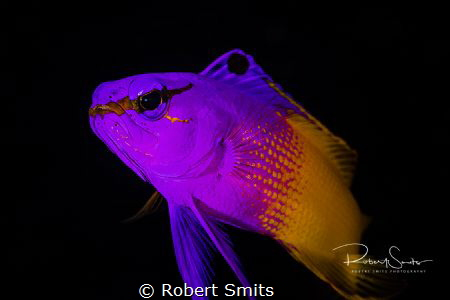 Fairy Basslet - is also known as The Royal Gramma and wil... by Robert Smits
