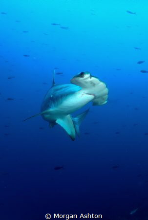 Wolf Island - Scalloped Hammerhead by Morgan Ashton