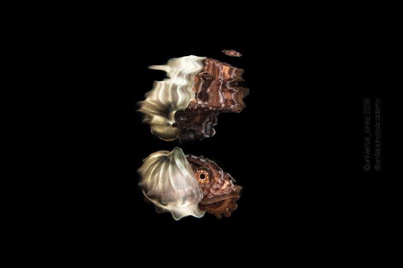 Argonauta sp.  Paper Nautilus during blackwater dive Anilao by Wayne Jones