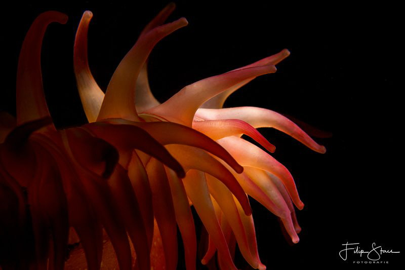 Close up of a Dahlia anemone (Urticina felina), Zeeland, ... by Filip Staes