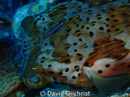 A neon Goby cleans a Balloonfish as it lies unmoving on t... by David Gilchrist
