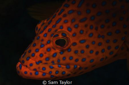 Portrait of a Coral Cod Nikon D-70, 60mm lens, dual YS 12... by Sam Taylor