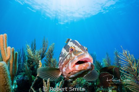 A grouper hanging over the reef, checking out its reflect... by Robert Smits