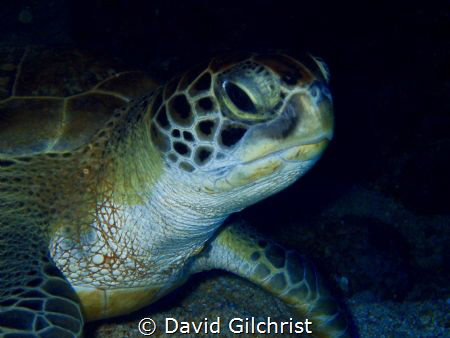 This green Sea turtle was resting under a ledge and allow... by David Gilchrist