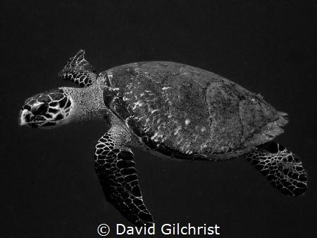 Hawksbill Turtle(Eretmochelys imbricata) Roatan, Honduras by David Gilchrist