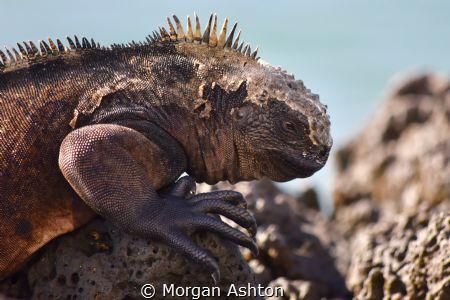 Marine Iguana at Rest - Puerto Ayora by Morgan Ashton