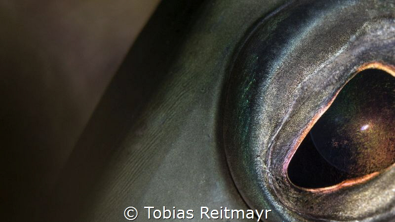 Trumpetfish, Vista Blue, Bonaire by Tobias Reitmayr