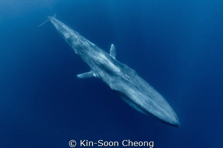 """Torpedo"". Blue whale, the largest ever known animal ever... by Kin-Soon Cheong"