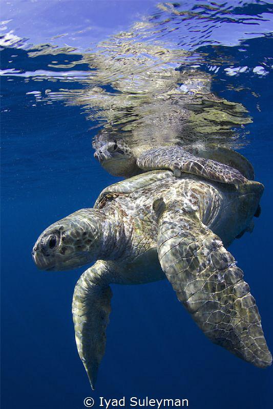 Mating Turtles by Iyad Suleyman
