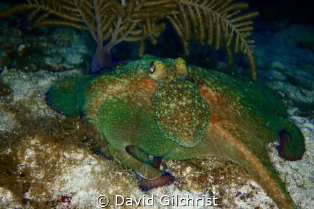 Reef Octopus photographed during a night dive in Pthe Roa... by David Gilchrist