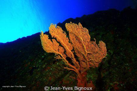 Gorgonian coral Coin de Mire(Gunners Point)8 metres Maur... by Jean-Yves Bignoux