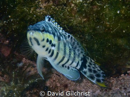 A Harlequin Bass posing for a photo in the water of the R... by David Gilchrist