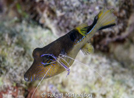 Peterson shrimp cleaning a sharpnose puffer by Robert Michaelson