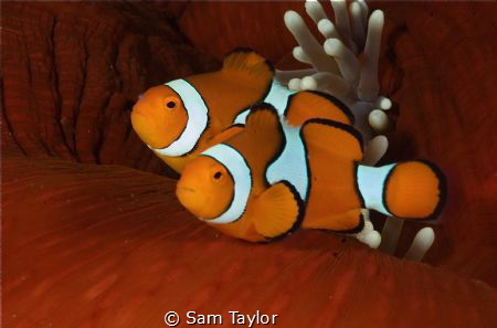 True Clownfish, Nikon D-70 60mm lens by Sam Taylor