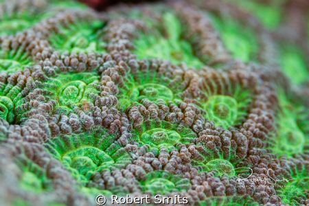Did you know that Scleractinia (also stony corals or hard... by Robert Smits