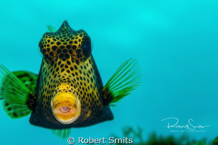 Did you know that the yellow boxfish (Ostracion cubicus) ... by Robert Smits