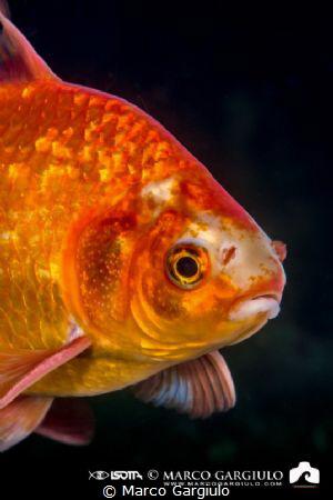 Red fish by Marco Gargiulo