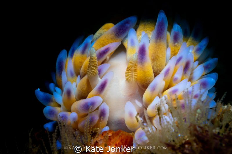 Gasflame Beautiful gasflame nudibranch perches on top of... by Kate Jonker