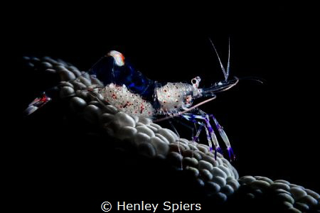 Shrimp Rider by Henley Spiers
