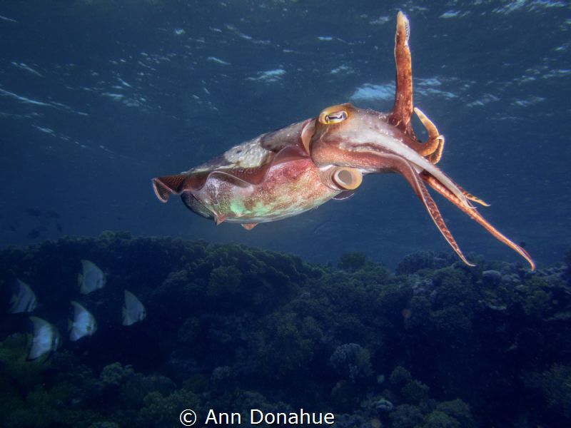Reef Scene I was focusing on the cuttlefish when a schoo... by Ann Donahue