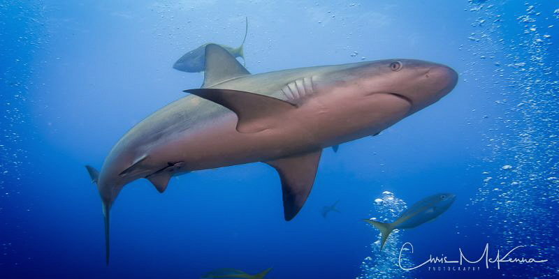 Caribbean Reef Shark photographed on the wreck of the Aus... by Chris Mckenna