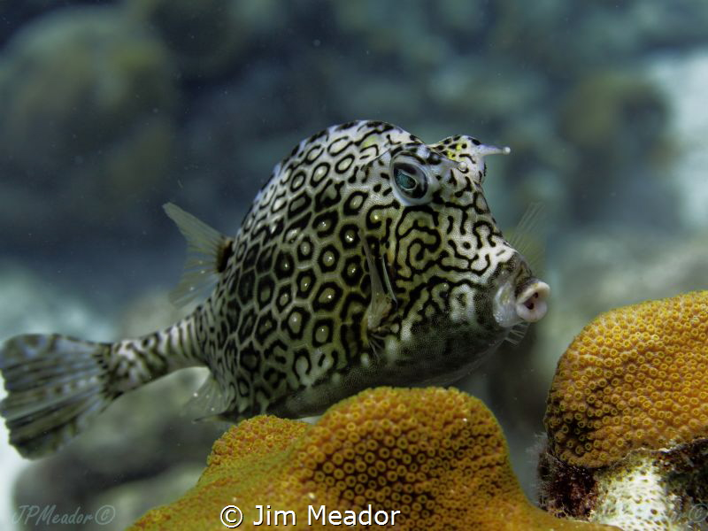 Honeycomb cowfish by Jim Meador