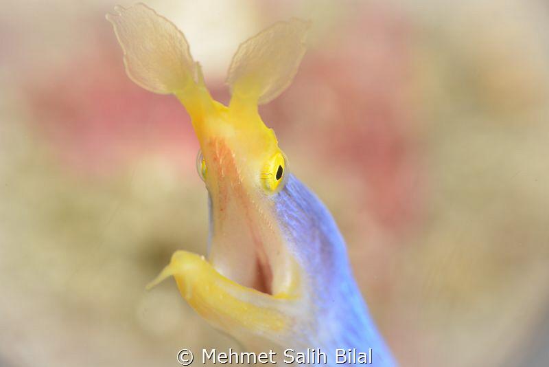 Blue ribbon eel. by Mehmet Salih Bilal