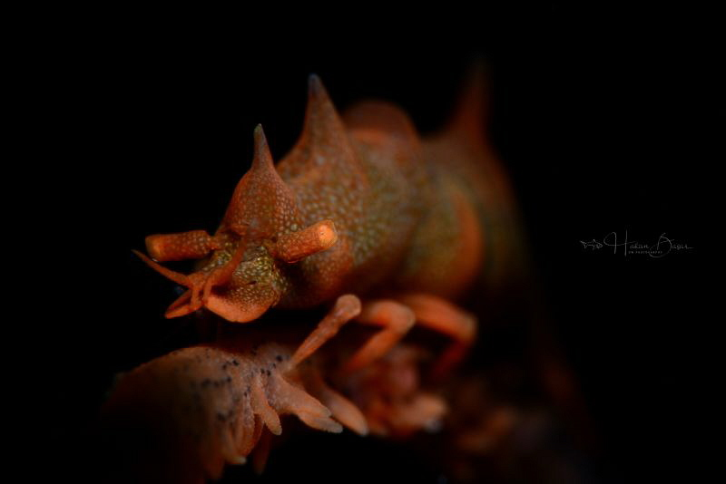 Dragon shrimp taken by D800E & Inon 240 with optic glass ... by Hakan Basar