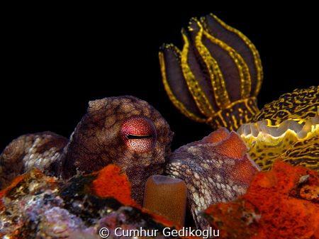 Octopus vulgaris & Felimare picta TRIO (Eye,Siphon,Gills) by Cumhur Gedikoglu