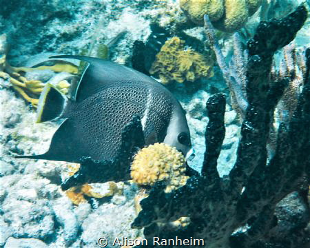 French Angelfish, Belize by Alison Ranheim