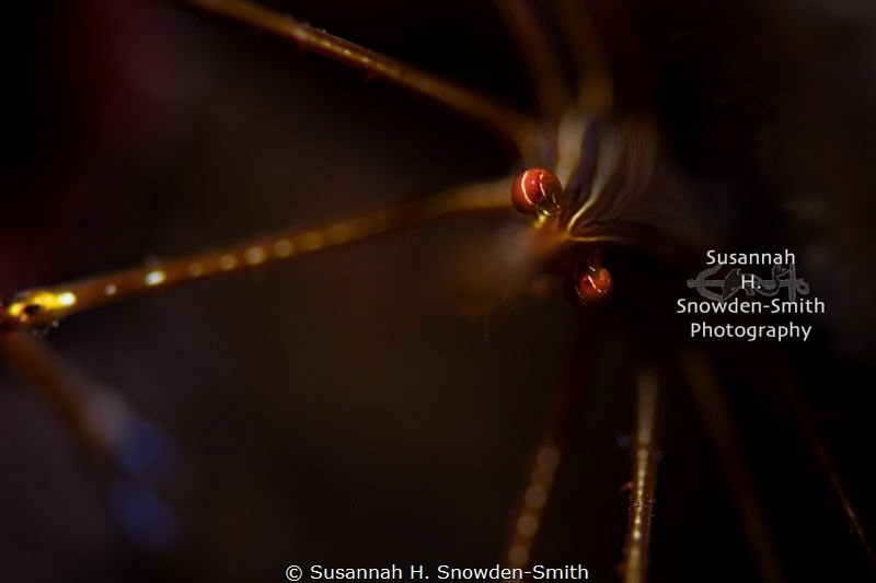 """""""Chiaroscuro"""" - I photographed this arrow crab using one ... by Susannah H. Snowden-Smith"""