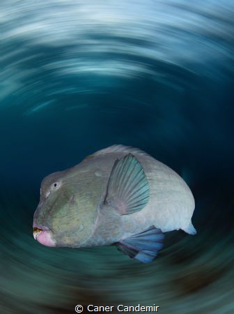 Bumphead Parrotfish by Caner Candemir